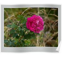 Beautiful  Nature: Roses - 12 Poster