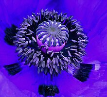 Blue Mohn  by Greta Schnall