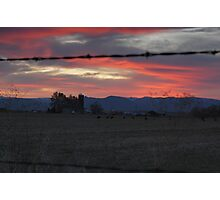 Cows - Sunset Photographic Print