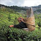 India - Darjeeling दार्जिलिंग - Tea garden by Thierry Beauvir