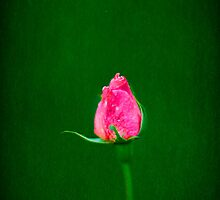 the lonely rose by Carol Yepes