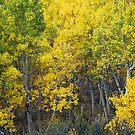 Bishop Creek Aspens by Nolan Nitschke