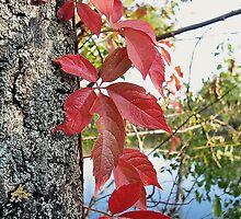 Autumn Red Ivy by robertpatrick