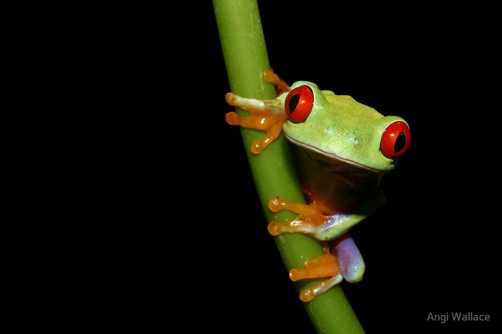 Red eyed tree frog on stalk by Angi Wallace