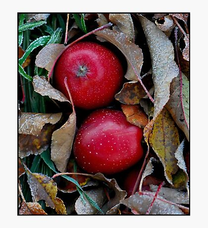 Frosty Apples Photographic Print