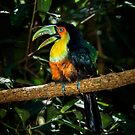 Toucan No. 3 of Iguazu by photograham
