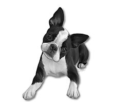 Boston Terriers by Cazzie Cathcart
