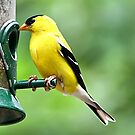 American Goldfinch by Teresa Zieba