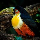 Toucan No. 5 of Iguazu by photograham