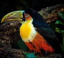 Toucan No. 5 of Iguazu by photograham