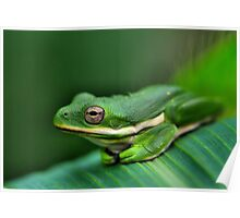 American Green Tree Frog #29 Poster