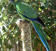 Twenty Eight Parrot (Barnardius zonarius semitorquatus) by skyhorse