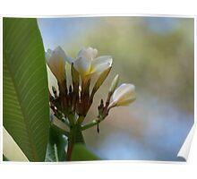 Tropical Frangipani Flower # 1 Poster