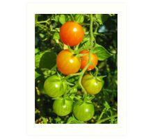 Tomatoes on the Vine Art Print