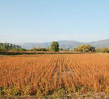 Soya Bean Field in Autumn  by jojobob