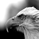 Bald Eagle by mrshutterbug