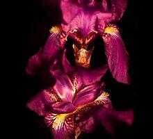 Nighttime Iris by Danny Clarkson