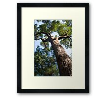 Red Tingle Tree Framed Print