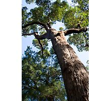 Red Tingle Tree Photographic Print