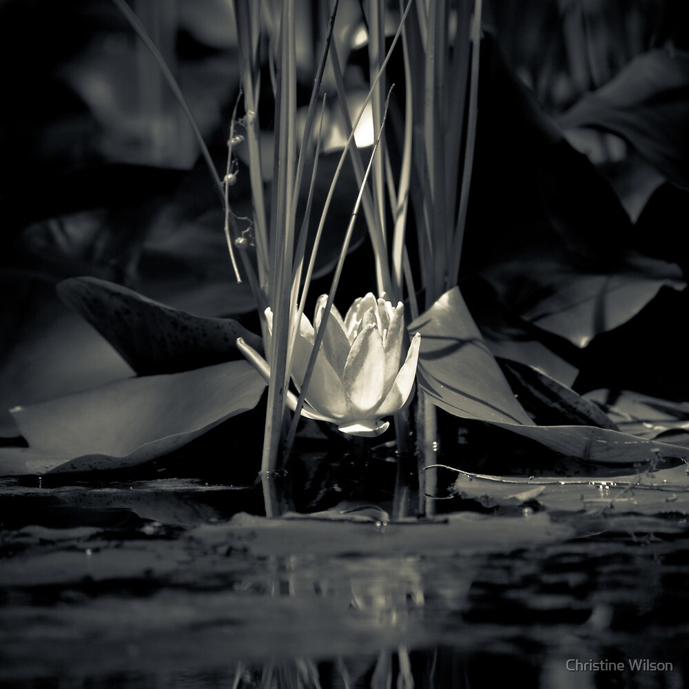 Water Lilly   by Christine Wilson