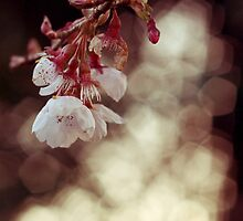 English Spring Cherry Blossom by ImogenC