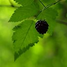 Oregon Wild Blackberry by AngiesImages