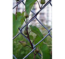 Chainlink Vine Photographic Print