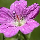 Well Watered Wild Geranium by ElyseFradkin