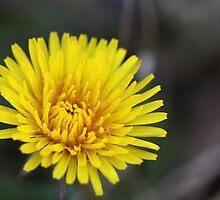 Dandelion by mishmurok