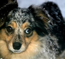 Gracie toy Australian Shepherd by doublejqh
