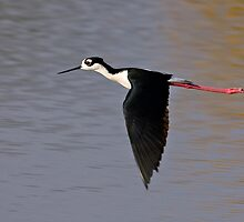 120509 Black Necked Stilt by Marvin Collins