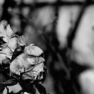 The Sad Rose. by Paul Rees-Jones