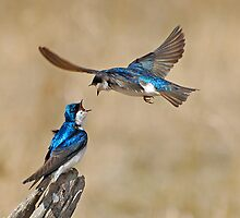 Tree Swallows by Ron Kube