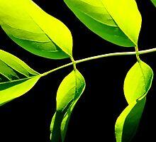 Acacia by Kitsmumma