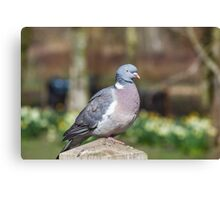 Wood Pigeon Perched On Post Canvas Print