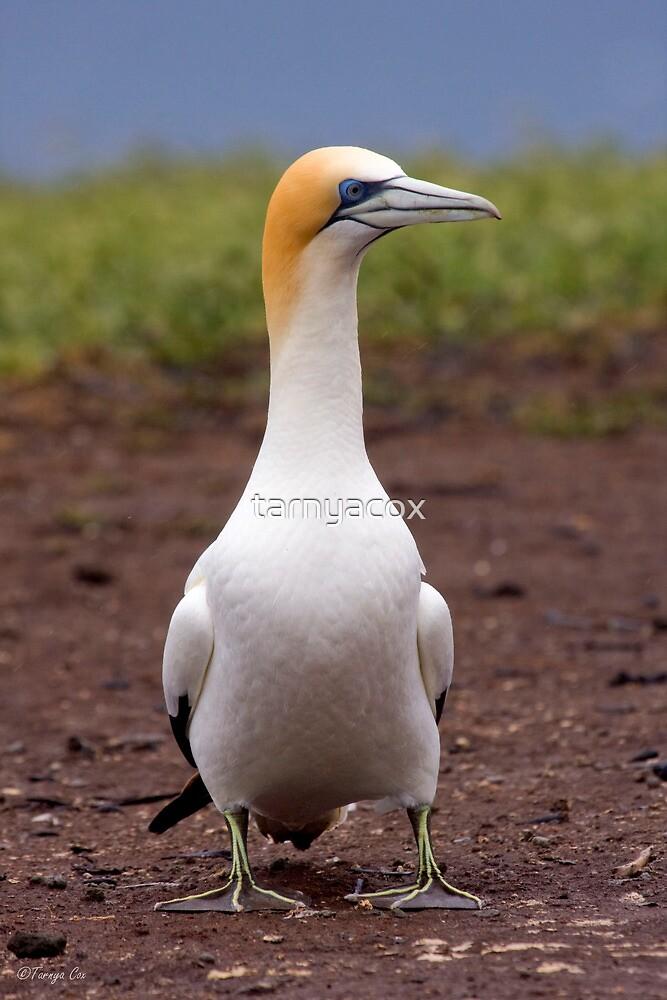 Australasian Gannet by tarnyacox
