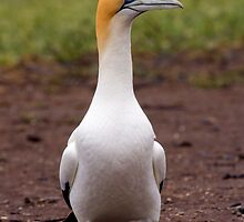 Australasian Gannet by tarnyacox