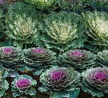 Cabbage Patch by louise