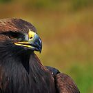 Golden Eagle by Donna Ridgway