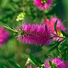 Pink Delight by Malcolm Katon