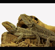 TWO BEARDED DRAGONS by Rexcharles