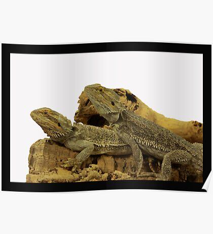 TWO BEARDED DRAGONS Poster