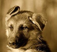 German Shepherd Puppy III by Sandy Keeton