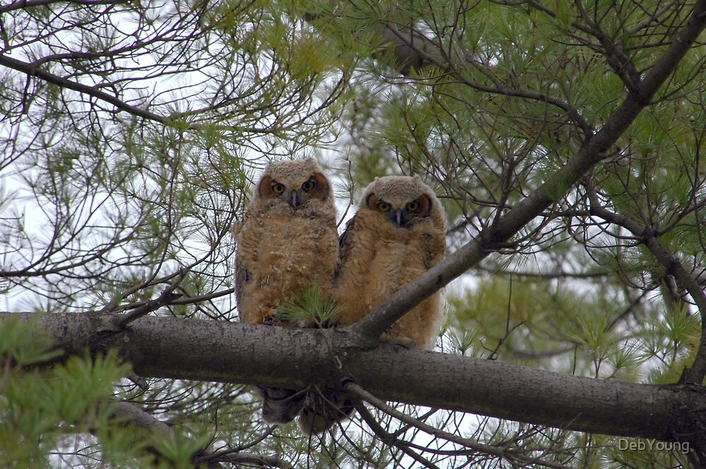Great Horned Owl Chicks by DebYoung
