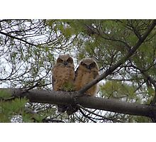 Great Horned Owl Chicks Photographic Print