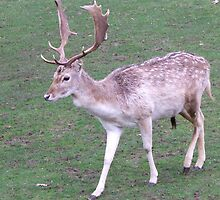 Stag in Knole Park, Kent by MisterD