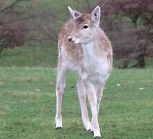 Young hind deer by MisterD