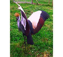 Crowned Crane Photographic Print