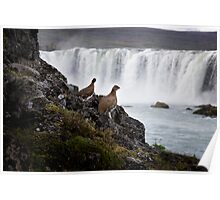 Ptarmigans overlooking Go∂afoss, Iceland Poster