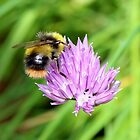 Bee & Chives by AnnDixon